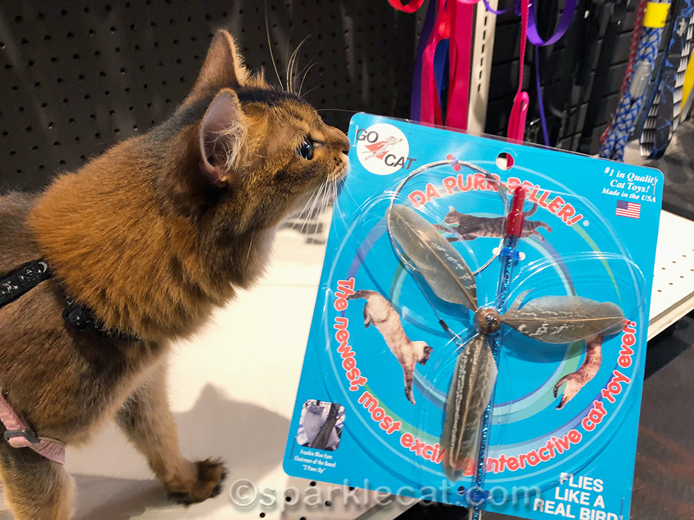 somali cat getting fun toy for world cat day