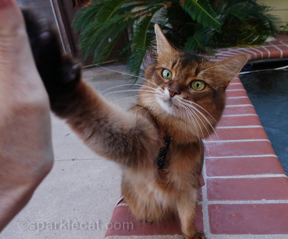 somali cat on ledge of spa, giving high five