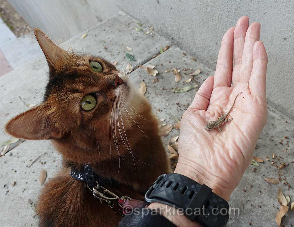 somali cat distracted and not caring about lizard