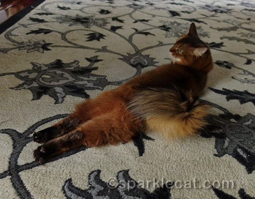 Somali cat lying on rug with legs stretched out