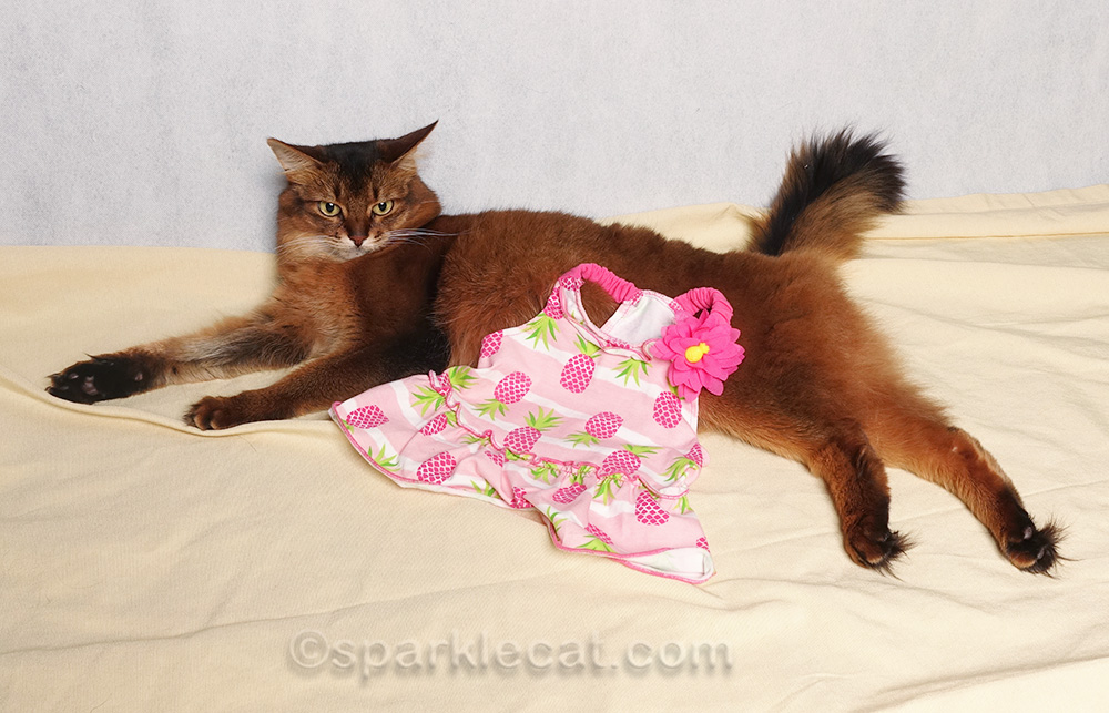 somali cat with dress draped on her