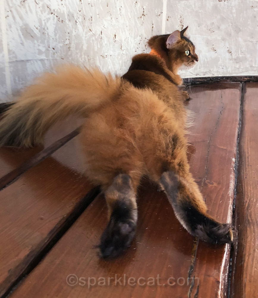 somali cat with back end to camera
