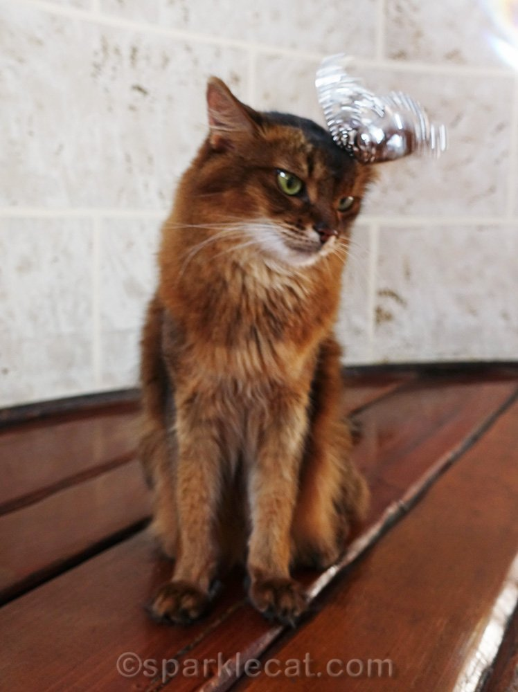 somali cat losing her tiara