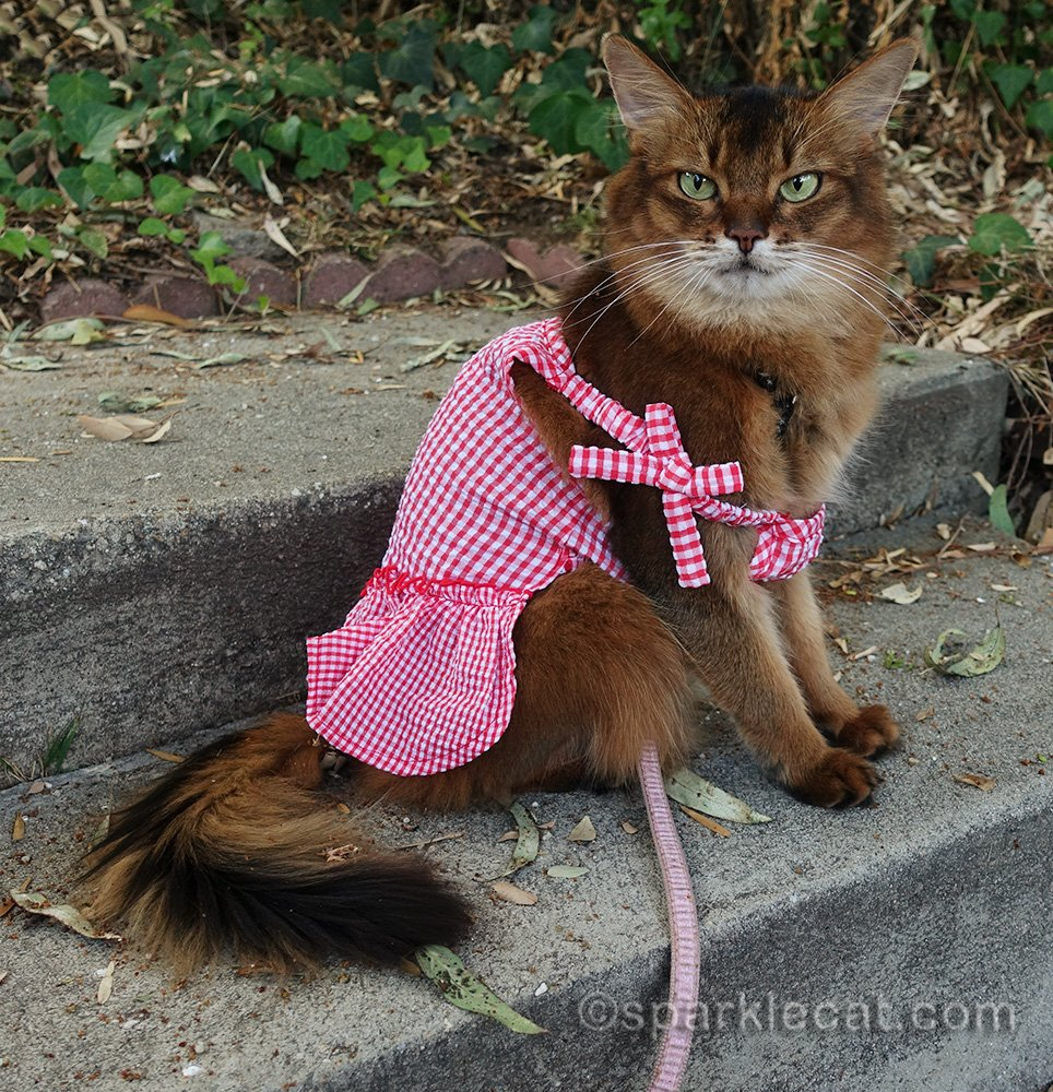 somali cat disappointed in cat dress fail