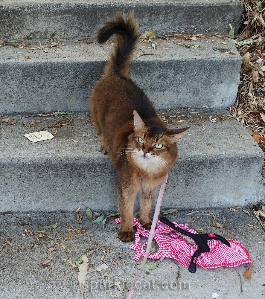 Somali cat has had enough of cat dress