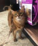 somali cat looking cute at pet shop