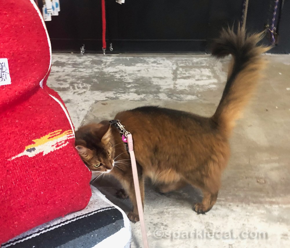 Somali cat rubbing on a blanket bed