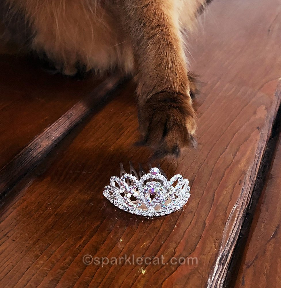 somali cat reaching for tiara