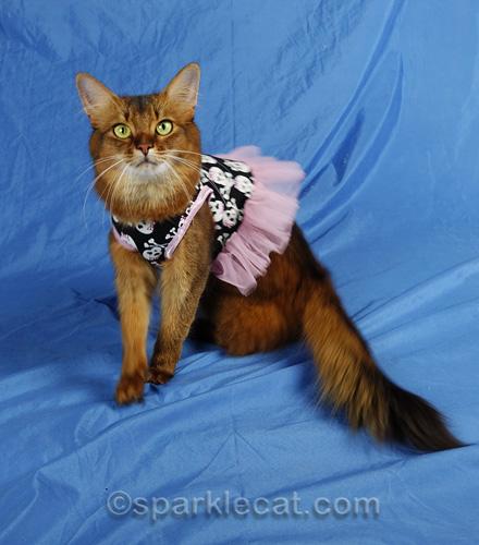 active somali cat in skull dress creating a fashion fail