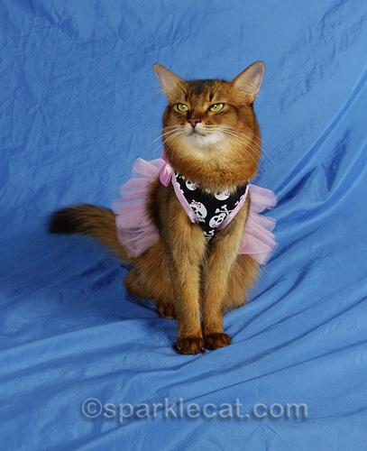 somali cat posing proudly in skull dress