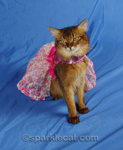somali cat posing in pretty pink dress