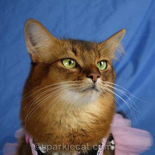 portrait of somali cat in dress