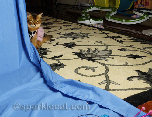 somali cat in dress playing during photo shoot