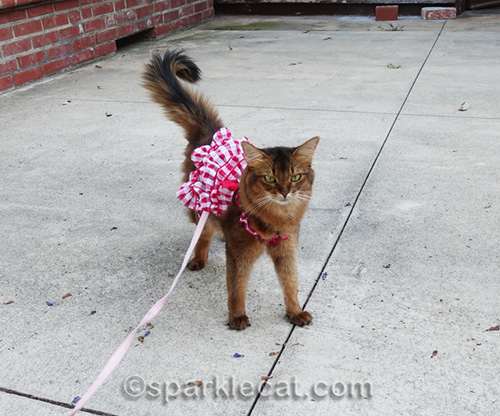 somali cat out for a stroll
