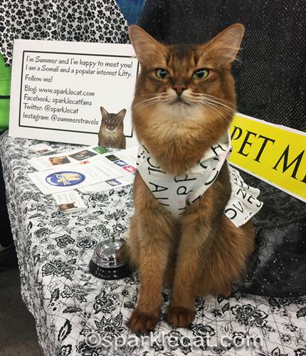 somali Pet Me cat posing in cute hoodie dress