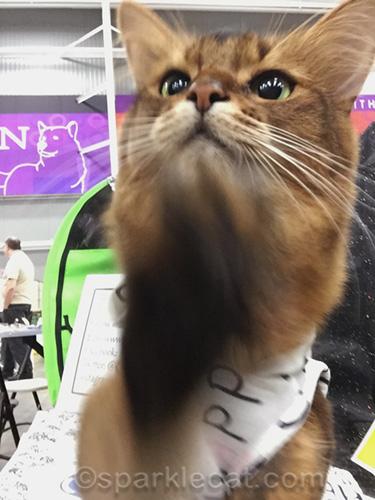 somali cat waving at camera selfie