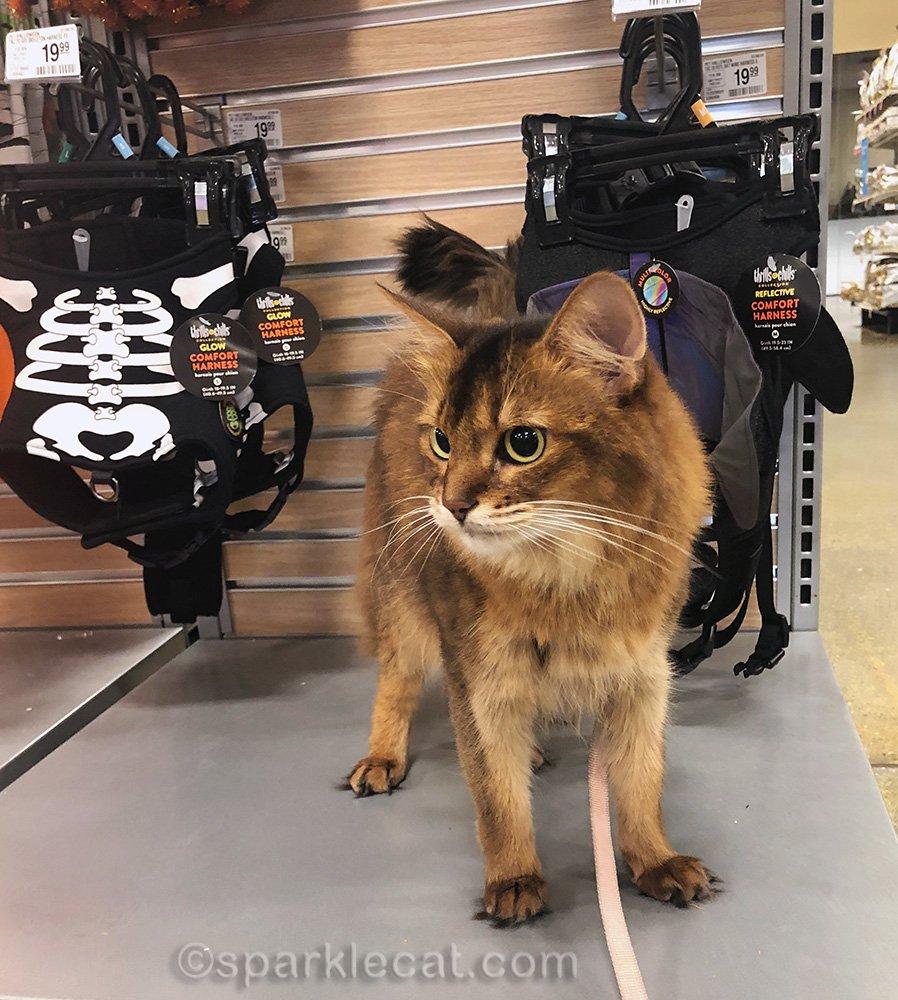 somali cat at Halloween display at pet store