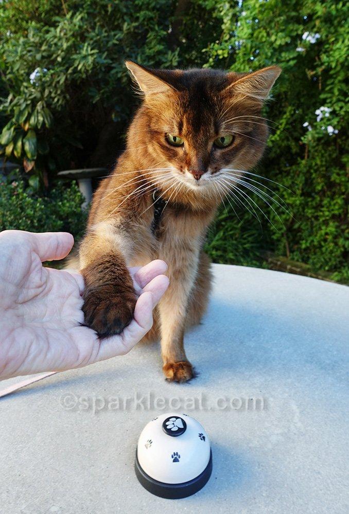 somali cat giving reluctant paw shake