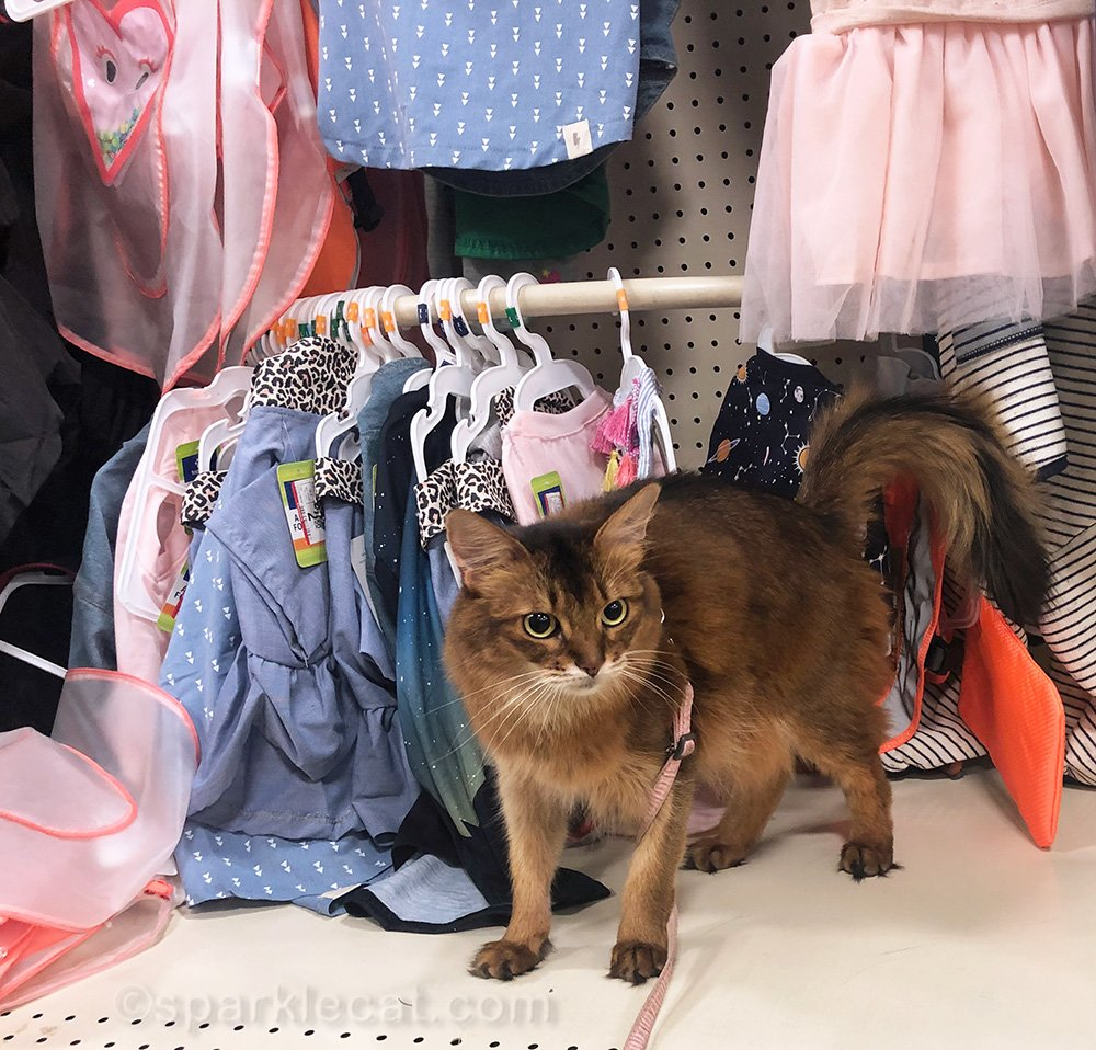 somali cat in clothing section of pet store