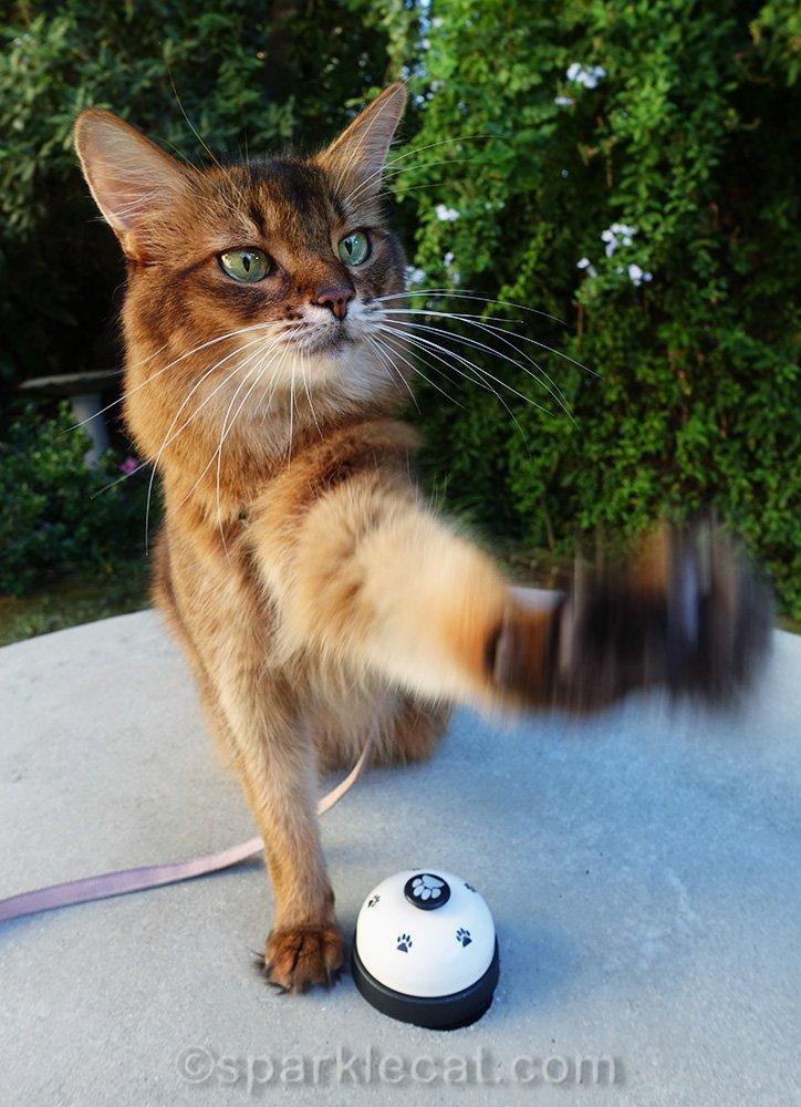 somali cat awkwardly waving with paw