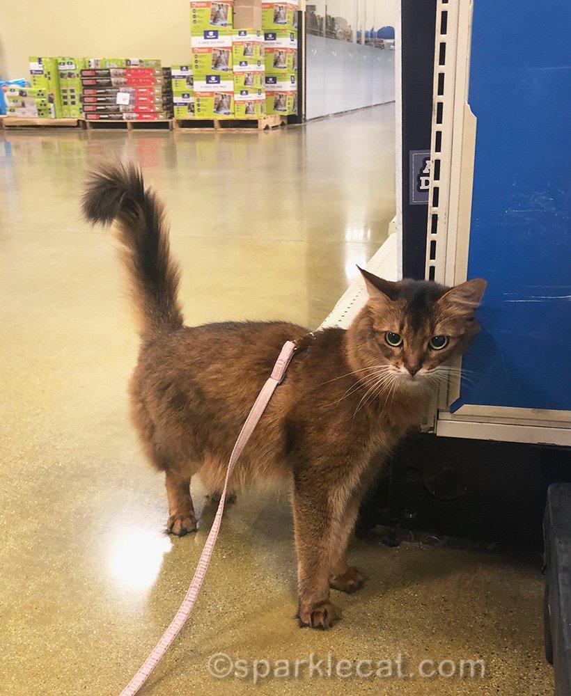 somali cat rubbing store shelving