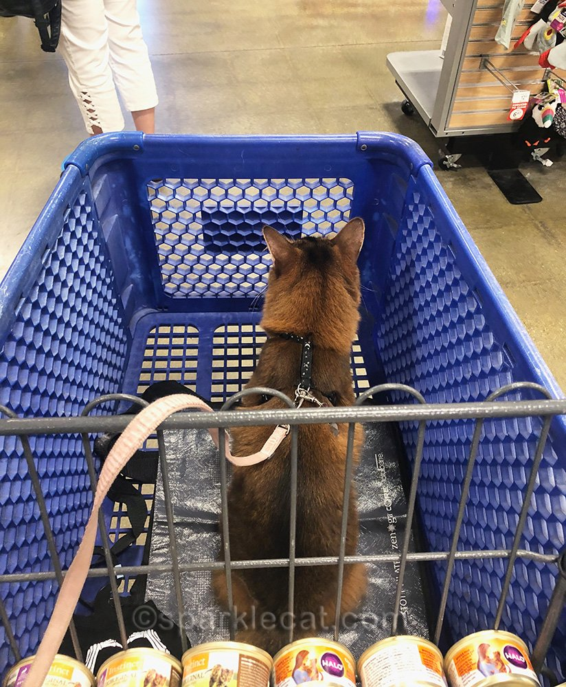 somali cat in shopping cart, getting ready to check out