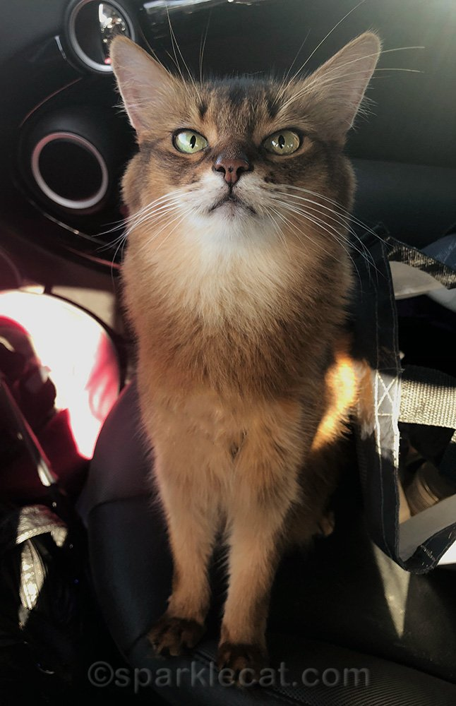 somali cat back in car after trip to pet store