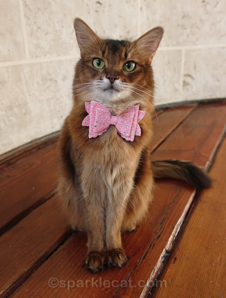 Somali cat wearing a sparkly pink bow tie