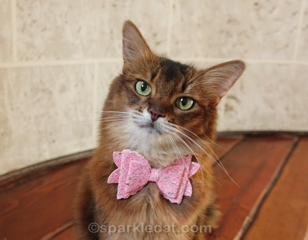 close up of Somali cat modeling sparkly pink bow tie