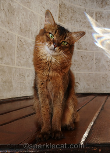 somali cat wishing she could go to CatCon