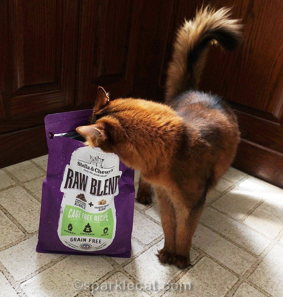 somali cat looking into bag of cat food