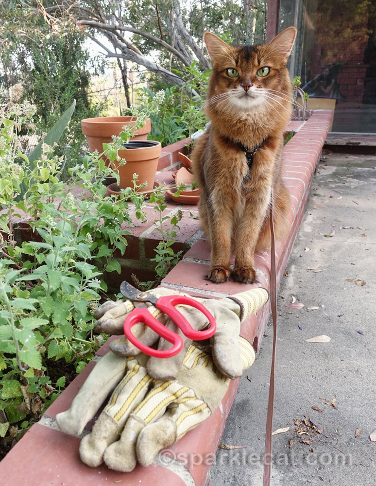 It's time for pruning the wildly overgrown catnip garden - and Summer, as always, is here to help out.