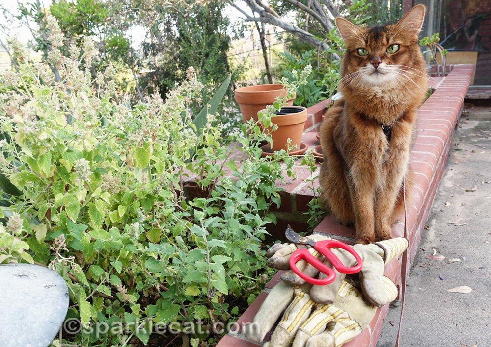 Somali cat sitting next to sad and overgrown catnip garden