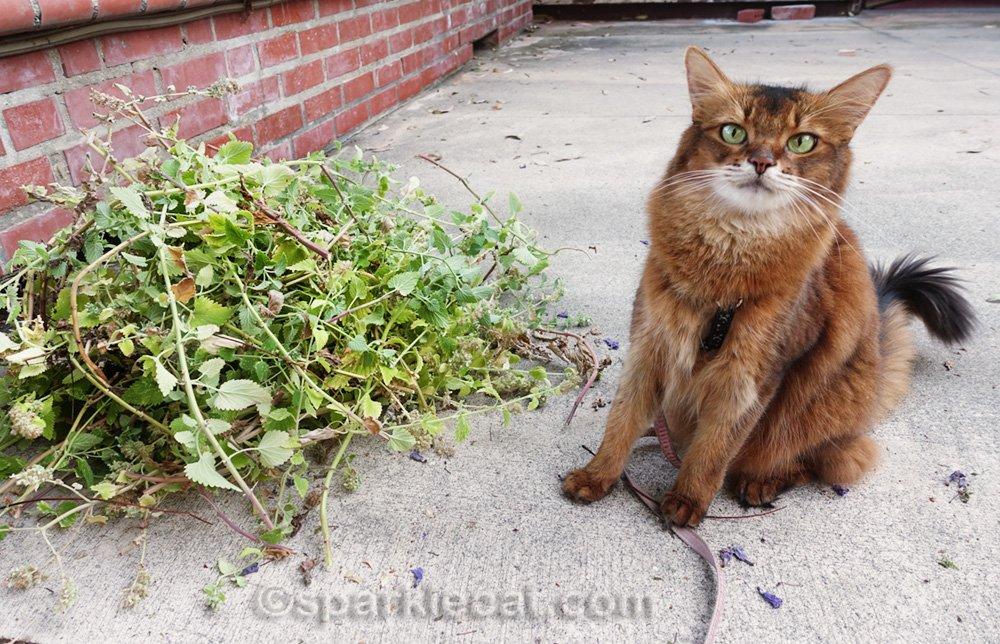 Somali cat next to big pile of catnip cuttings