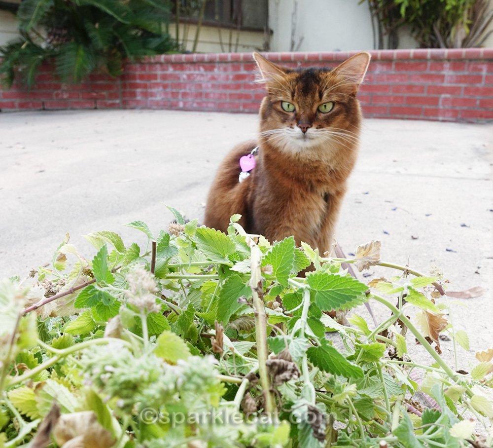 somali cat overlooking pile of catnip cuttings