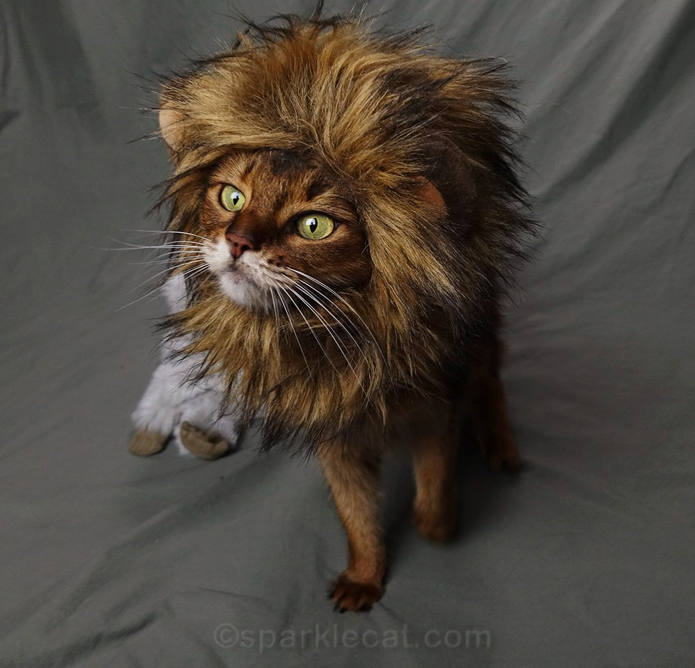 somali cat ready to prowl the savannah in her lion mane