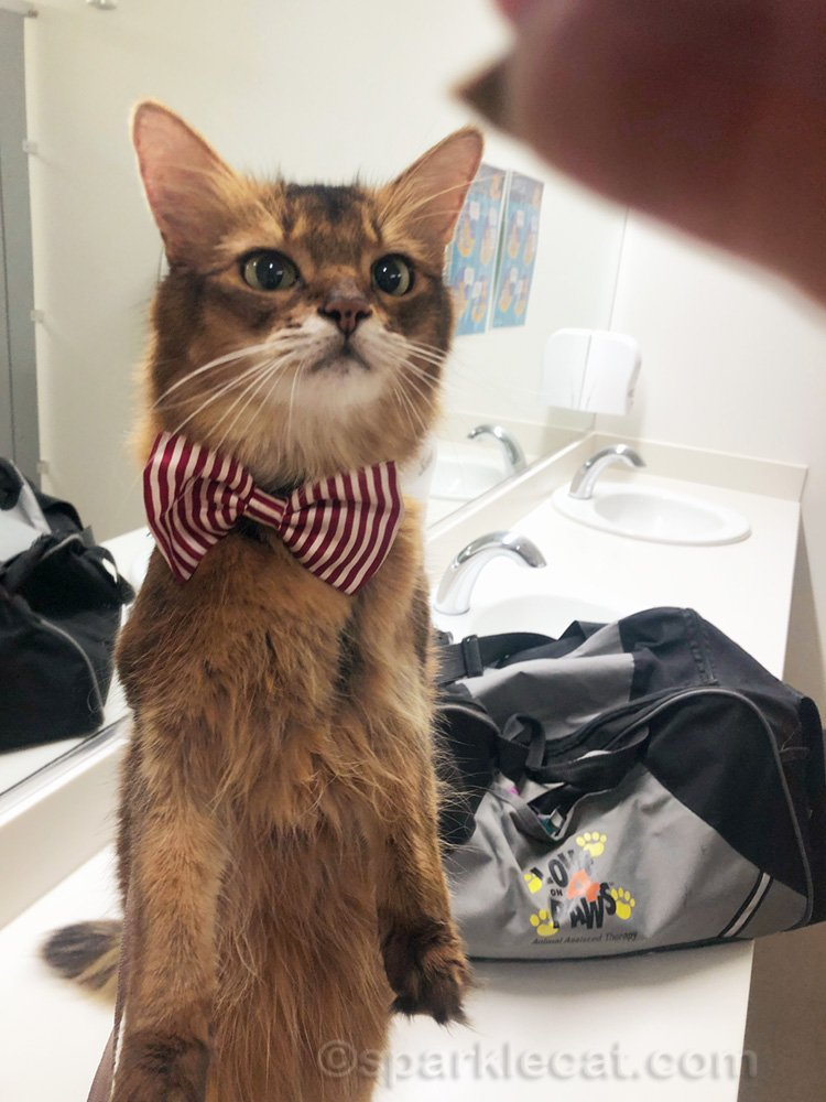 Therapy cat with bow tie, sitting up for a treat