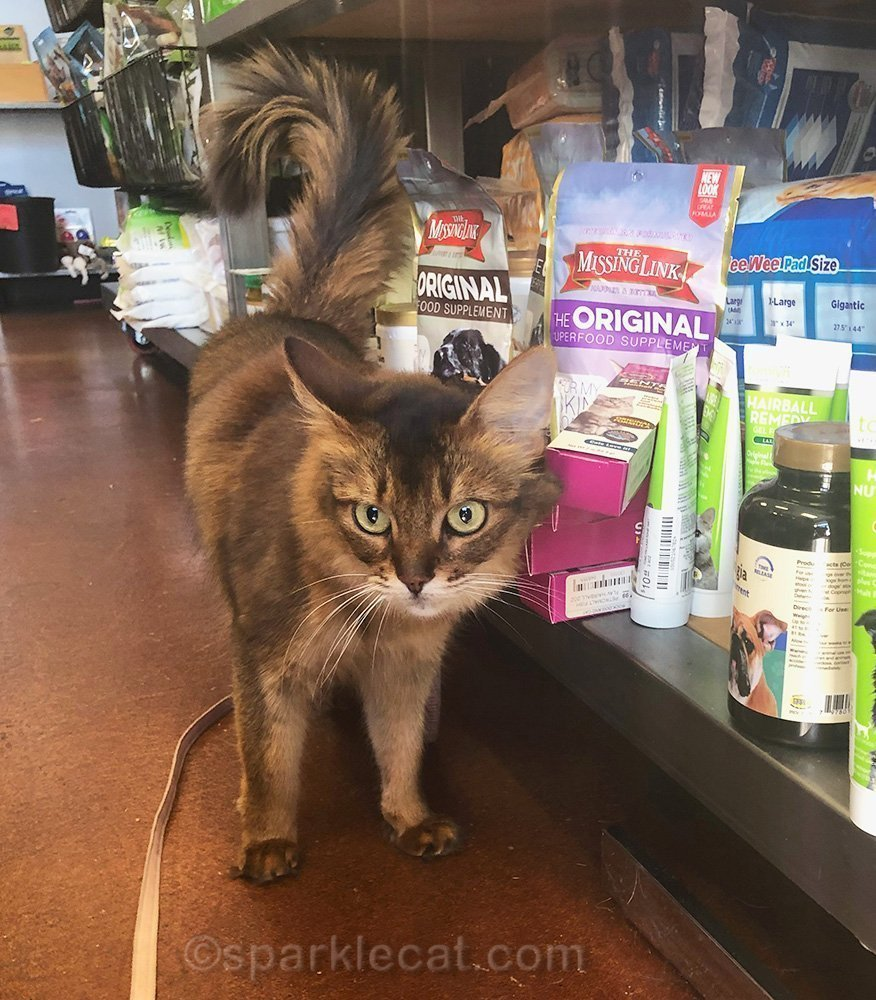 somali cat rubbing on some items at pet store