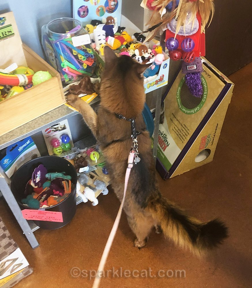 somali cat in cat toy section of pet store
