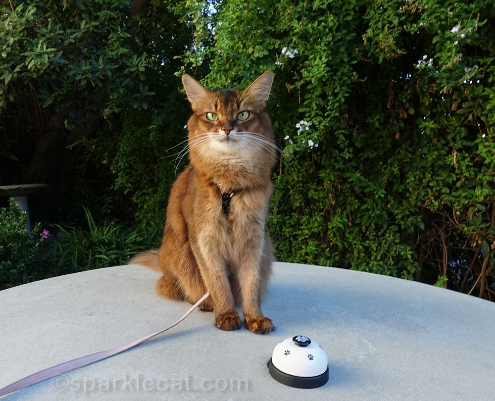somali cat waiting for her human to stop talking