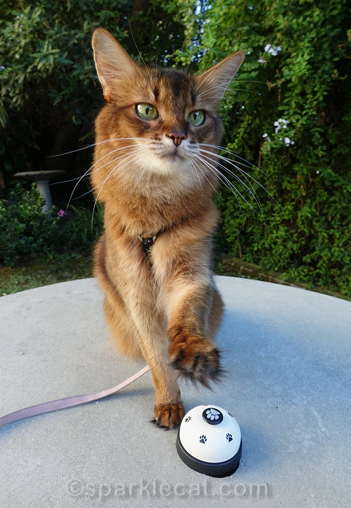 somali cat about to ring a bell