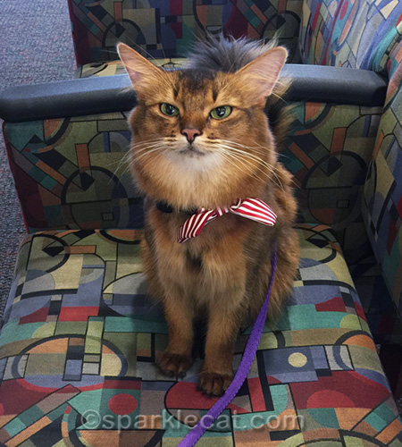therapy cat making a hospital visit