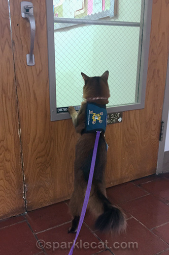 somali cat looking into medical library