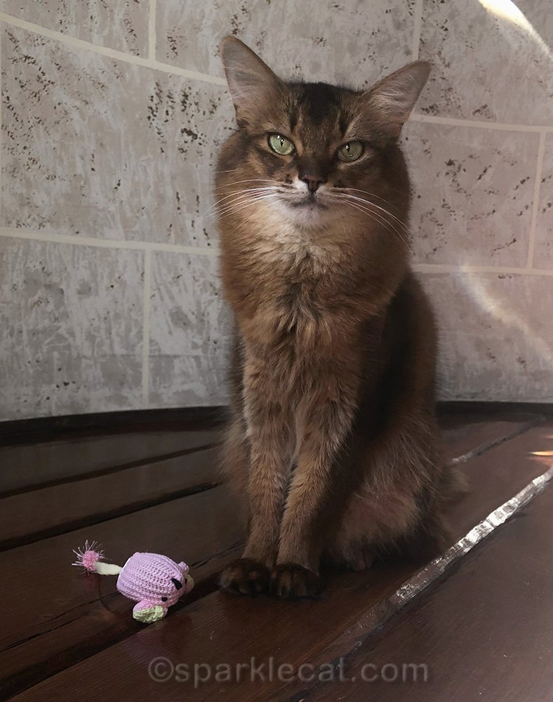 somali cat with new toy