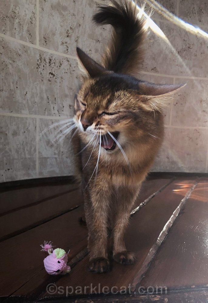 somali cat yawning