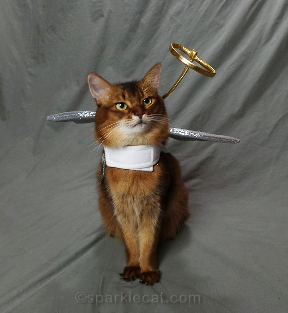 somali cat in angel costume with crooked halo