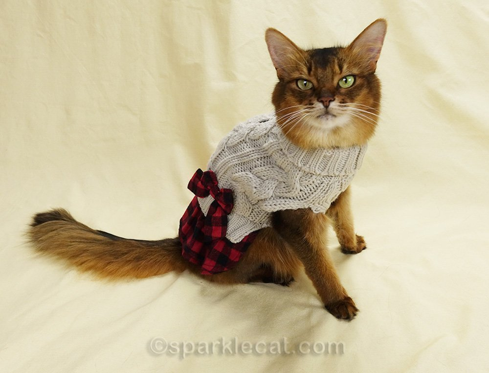 somali cat wearing winter sweater dress