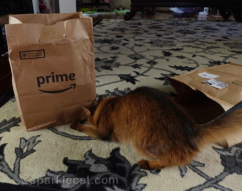 somali cat looking under the bag for the treat