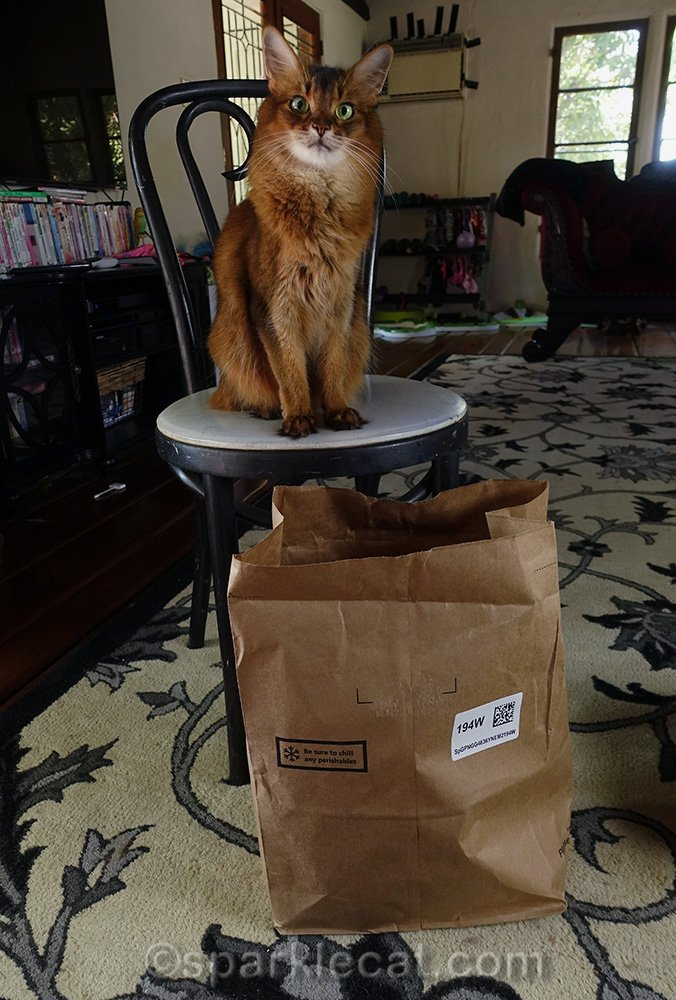 somali cat sitting on chair with bag under her