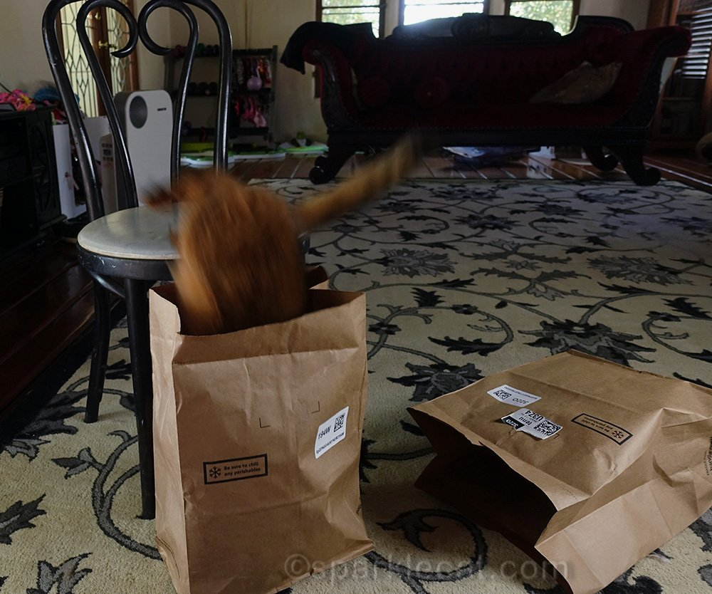 somali cat jumping into bag from chair